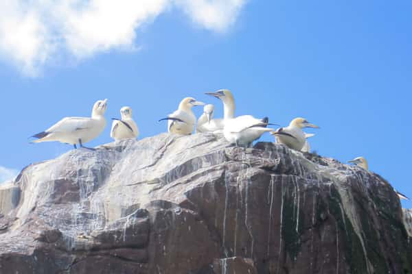 Gannet Colony off the Kerry Coast