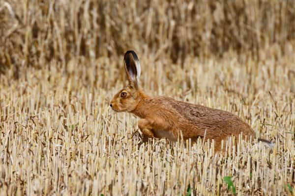 Kerry Mountain Hare