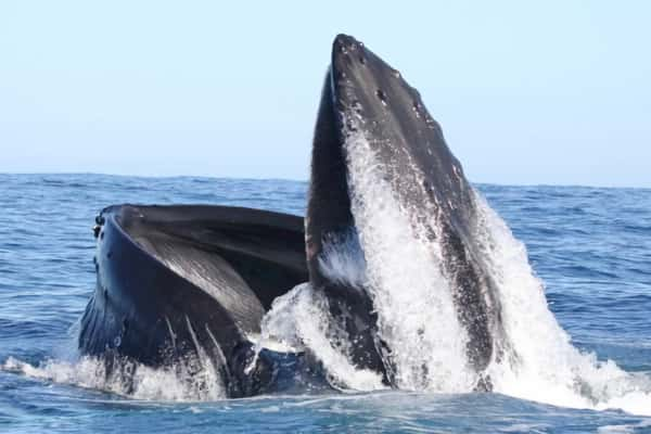 Humpback Whales off the Kerry Coast